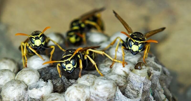wasp control & nest removal service in Bakersfield CA